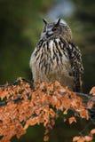 Πορτρέτο της ευρασιατικής αετός-κουκουβάγιας, bubo Bubo με το δάσος φθινοπώρου στο υπόβαθρο στοκ εικόνες