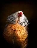 Πορτρέτο της ζωηρόχρωμης κότας στοκ εικόνα με δικαίωμα ελεύθερης χρήσης