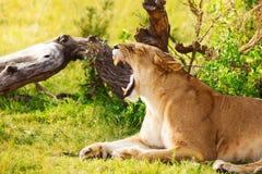 Πορτρέτο της λιονταρίνας χασμουρητού που βάζει στην πράσινη χλόη Στοκ Εικόνες