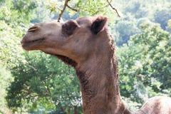 Πορτρέτο της καμήλας στενό - επάνω στο πράσινο δάσος Στοκ φωτογραφία με δικαίωμα ελεύθερης χρήσης