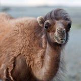 Πορτρέτο της καμήλας Στοκ φωτογραφία με δικαίωμα ελεύθερης χρήσης
