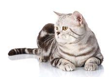 Πορτρέτο της καλής ασημένιας γάτας που βρίσκεται σε ένα άσπρο υπόβαθρο Στοκ Εικόνες