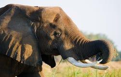 Πορτρέτο της κινηματογράφησης σε πρώτο πλάνο ελεφάντων Ζάμπια Χαμηλότερο εθνικό πάρκο Ζαμβέζη Στοκ Εικόνα