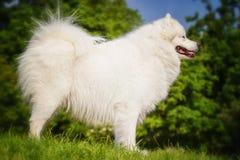 Πορτρέτο της κινηματογράφησης σε πρώτο πλάνο Samoyed Σκυλιά ελκήθρων Στοκ εικόνες με δικαίωμα ελεύθερης χρήσης