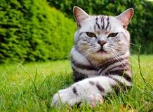 Πορτρέτο της κοντινής γάτας ` s στοκ εικόνες
