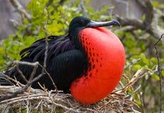 Πορτρέτο της κόκκινος-διογκωμένης φρεγάτας galapagos νησιά ηξών Ισημερινός στοκ εικόνες με δικαίωμα ελεύθερης χρήσης