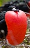 Πορτρέτο της κόκκινος-διογκωμένης φρεγάτας galapagos νησιά ηξών Ισημερινός στοκ εικόνες