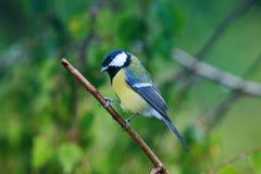 Πορτρέτο της λίγο αστείας υγρής συνεδρίασης πουλιών tit σε ένα duri κλάδων στοκ εικόνες