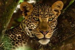 Πορτρέτο της λεοπάρδαλης στην Κένυα στοκ εικόνα