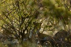 Πορτρέτο της λεοπάρδαλης στην Κένυα στοκ φωτογραφίες