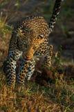 Πορτρέτο της λεοπάρδαλης στην Κένυα στοκ εικόνες με δικαίωμα ελεύθερης χρήσης
