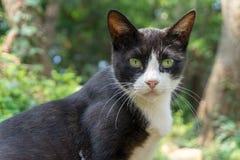 Πορτρέτο της μαύρης γάτας που έχει το άσπρο τρίγωνο στο πρόσωπό του στοκ φωτογραφία με δικαίωμα ελεύθερης χρήσης