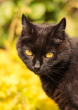Πορτρέτο της μαύρης γάτας στον πολύβλαστο κήπο Στοκ φωτογραφία με δικαίωμα ελεύθερης χρήσης