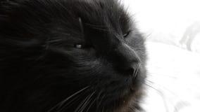 Πορτρέτο της παχιάς μακρυμάλλους μαύρης γάτας Chantilly Tiffany Κλείστε επάνω του κεφαλιού του λίπους tomcat με τη ζάλη των μεγάλ απόθεμα βίντεο