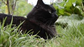 Πορτρέτο της παχιάς μακρυμάλλους μαύρης χαλάρωσης γατών Chantilly Tiffany στον κήπο Κινηματογράφηση σε πρώτο πλάνο του λίπους tom φιλμ μικρού μήκους