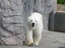 Πορτρέτο της περπατώντας πολικής αρκούδας Στοκ φωτογραφίες με δικαίωμα ελεύθερης χρήσης