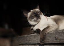Πορτρέτο της σιαμέζας γάτας Στοκ Εικόνα