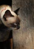 Πορτρέτο της σιαμέζας γάτας Στοκ Εικόνες