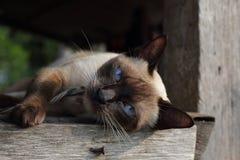 Πορτρέτο της σιαμέζας γάτας Στοκ εικόνες με δικαίωμα ελεύθερης χρήσης