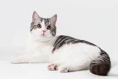Πορτρέτο της σκωτσέζικης ευθείας γάτας που βρίσκεται στο άσπρο υπόβαθρο στοκ φωτογραφία με δικαίωμα ελεύθερης χρήσης