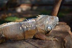 Πορτρέτο της συνεδρίασης iguana σε ένα δέντρο Στοκ φωτογραφίες με δικαίωμα ελεύθερης χρήσης