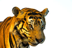 Πορτρέτο της τίγρης, πρόσωπο τιγρών η ανασκόπηση απομόνωσε το λευκό Στοκ φωτογραφία με δικαίωμα ελεύθερης χρήσης
