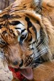 Πορτρέτο της τίγρης malayan στοκ φωτογραφία με δικαίωμα ελεύθερης χρήσης