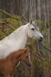 Πορτρέτο της φοράδας με foal στοκ εικόνες
