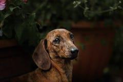 Πορτρέτο της φυλής σκυλιών dachshund Στοκ εικόνα με δικαίωμα ελεύθερης χρήσης