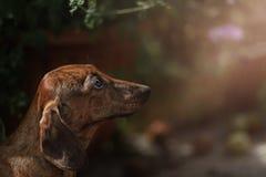 Πορτρέτο της φυλής σκυλιών dachshund Στοκ Εικόνα