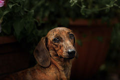 Πορτρέτο της φυλής σκυλιών dachshund Στοκ Φωτογραφίες