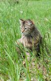 Πορτρέτο της χαριτωμένης τρία χρωματισμένης γάτας Στοκ φωτογραφίες με δικαίωμα ελεύθερης χρήσης