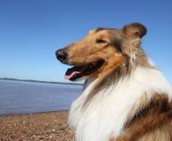 Πορτρέτο της χρυσής συνεδρίασης σκυλιών κόλλεϊ στην παραλία στο θερινό ήλιο στοκ εικόνες με δικαίωμα ελεύθερης χρήσης