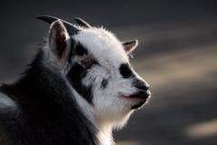 Πορτρέτο της Pygmy αίγας Στοκ Φωτογραφίες