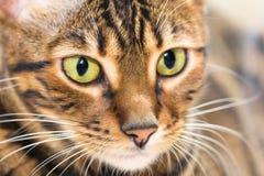 Πορτρέτο τιγρέ χρώματος σκουμπριών γατών του καφετιού, κινηματογράφηση σε πρώτο πλάνο Στοκ εικόνες με δικαίωμα ελεύθερης χρήσης