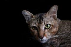 Πορτρέτο τιγρέ στοκ εικόνα