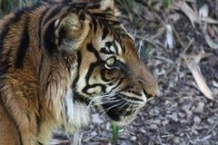 Πορτρέτο τιγρών Στοκ Εικόνες