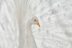 Πορτρέτο του άσπρου peacock στοκ φωτογραφία με δικαίωμα ελεύθερης χρήσης