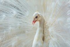 Πορτρέτο του άσπρου peacock Στοκ Εικόνες