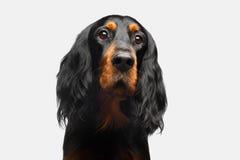 Πορτρέτο του αγγλικού σκυλιού ρυθμιστών Στοκ εικόνα με δικαίωμα ελεύθερης χρήσης