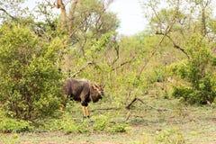 Πορτρέτο του αρσενικού nyala πεδινών, angasii Tragelaphus Στοκ Εικόνες