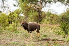 Πορτρέτο του αρσενικού nyala πεδινών, angasii Tragelaphus Στοκ εικόνα με δικαίωμα ελεύθερης χρήσης