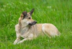 Πορτρέτο του λατρευτού περιπλανώμενου σκυλιού Στοκ Εικόνες