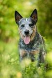 Πορτρέτο του αυστραλιανού σκυλιού βοοειδών Στοκ Φωτογραφία