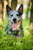 Πορτρέτο του αυστραλιανού σκυλιού βοοειδών Στοκ εικόνα με δικαίωμα ελεύθερης χρήσης