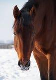 Πορτρέτο του αλόγου κόλπων Στοκ εικόνες με δικαίωμα ελεύθερης χρήσης