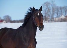 Πορτρέτο του αλόγου σκοτεινός-κόλπων Στοκ Φωτογραφίες