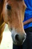 Πορτρέτο του αλόγου Στοκ Εικόνα