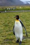 Πορτρέτο του βέβαιου βασιλιά Penguin που στέκεται ψηλού στη χλόη της σαφούς, μεγάλης αποικίας του Σαλίσμπερυ στο υπόβαθρο, νότος  στοκ φωτογραφία