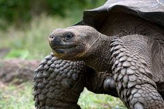 Πορτρέτο του γίγαντα tortoises galapagos νησιά ωκεάνιος ειρηνικός Ισημερινός στοκ εικόνες με δικαίωμα ελεύθερης χρήσης